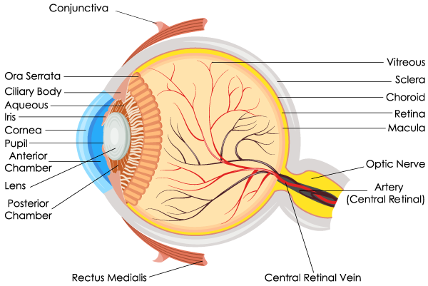eye-anatomy.png